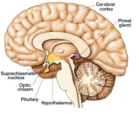 pineal gland | renée snider, Sphenoid